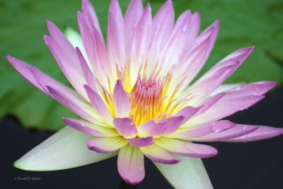 Peach Blow Water Lily