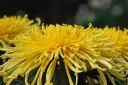 Chrysanthemum - Chrysanths - Mums III