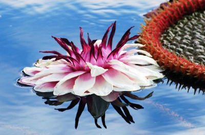 Victoria Amazonica Water Lily