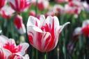 Tulip / Tulipa Liliaceae II