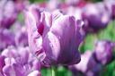 Blue Parrott Tulip