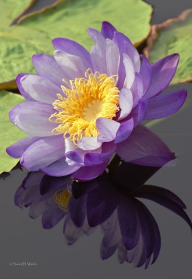 Blue Cloud Water Lily