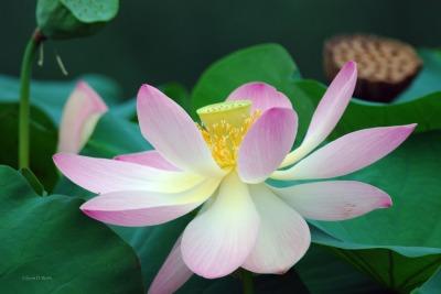 East Indian Lotus Rosea Plena