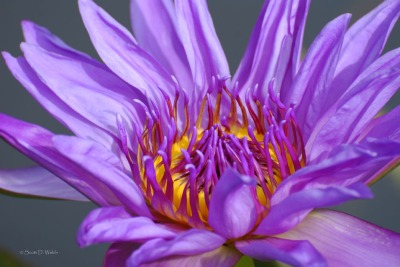 Aquarius Water Lily