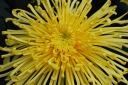 Spider Mum - Chrysanthemum