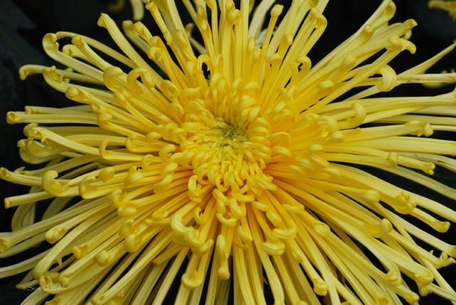 Spider Mum - Chrysanthemum