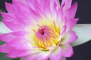 Pink Pearl Water Lily