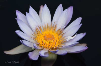Purple Passion Water Lily