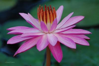 Rose de Noche Water Lily