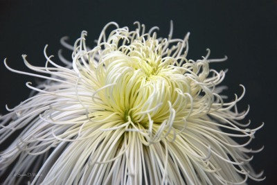Chrysanthemum Spider Mum Showers