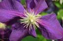 Clematis - Ranunculaceae