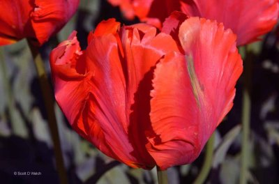 Parrot Orange Favourite Tulip