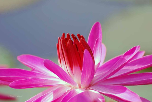 Catherine Marie Water Lily