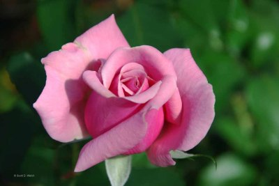 Pink Rose - Rosaceae