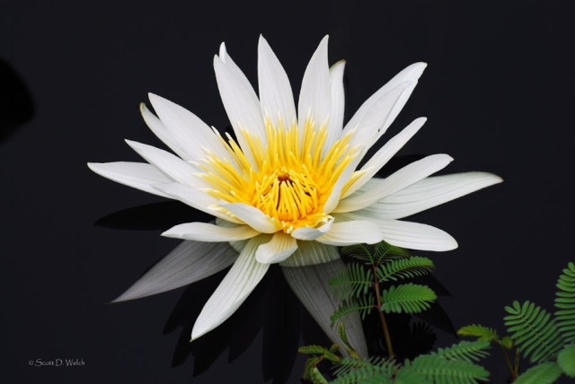 Pring Water Lily