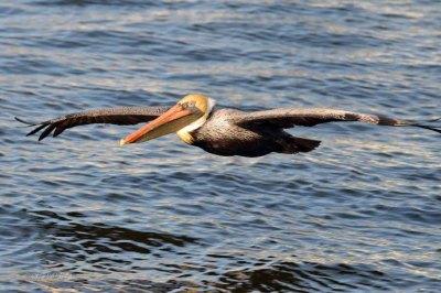 Pelican - Pelecanidae