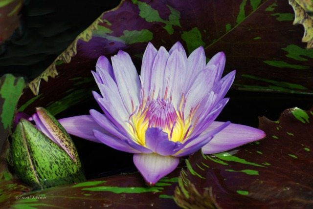 Water Lily Leopardess