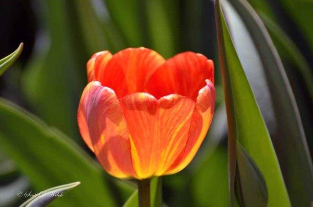 Darwin Daydream Tulip