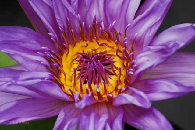 Dir Moore Water Lily