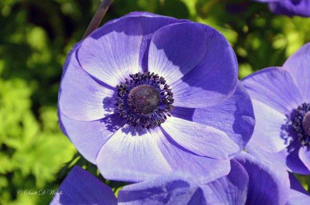 Poppy Flowered Anemone